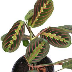 Комнатное растение маранта для детской с окнами на юг